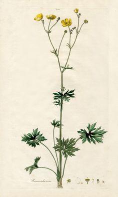 William Curtis Flora Londinensis Prints 1775