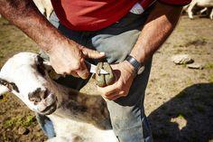 Una mica de #manicura ? | Un poco de manicura? #oveja #ovella #xisqueta #pastor #shepherd #livefolk
