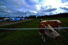 Kainuu agricultural fair Finland, Cow, Animals, Animales, Animaux, Animal Memes, Animal, Animais, Dieren
