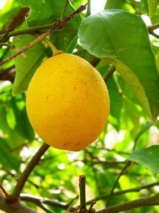 How to germinate lemon seeds to grow your own lemon tree from a store bought lemon.