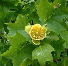Black Walnut Tolerant Plants.  Tulip Tree.  Canadale Nurseries Ltd.