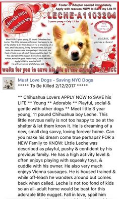 RTO SAFE❤️ 2/13/17 THANK YOU FOR COMING BACK FOR HIM❤️ PLEASE TAKE GOOD CARE OF HIM FOREVER THIS TIME❤️/ij🐾🐾 Brooklyn Center My name is LECHE. My Animal ID # is A1103204. I am a neutered male tan and white chihuahua lh and pomeranian mix. The shelter thinks I am about 3 YEARS old. I came in the shelter as a OWNER SUR on 02/07/2017 from NY 11229, owner surrender reason stated was ATT PEOPLE.