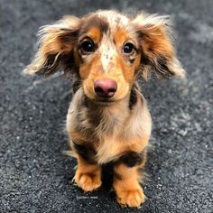 """All dogs are smart, of course, especially yours—but some dog breeds are likely smarter than others. When psychologist Stanley Coren wrote """"The Intelligence of Dogs"""" 25 years ago, he judged various breeds by their ability Dapple Dachshund, Long Haired Dachshund, Dachshund Puppies, Cute Dogs And Puppies, I Love Dogs, Dachshund Clothes, Dachshund Gifts, Daschund, Dachshund Shirt"""