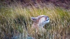 Bing Image Archive: A puma in Torres del Paine National Park, Chile (© Benjamin Lowy/Getty Images)(Bing Australia)