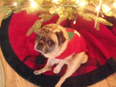 Augi wishes all his pug pals Merry Christmas.