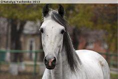 Orlov Trotter stallion Vetrogon