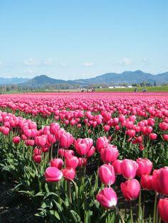 Skagit Valley Tulip Festival, La Conner, WA. April 1-30, 2014. http://www.tulipfestival.org