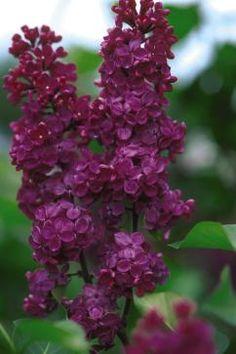 Ludwig Spaeth Lilac (Syringa vulgaris 'Andenken an Ludwig Spaeth') 18 Lilac Varieties Lilac Tree, Lilac Flowers, Purple Lilac, Purple Roses, Deep Purple, Flowering Shrubs, Trees And Shrubs, Trees To Plant, Amazing Flowers