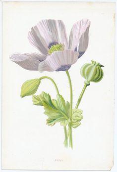 White Poppy  | F Edward Hulme