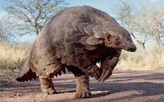 They are Prince William's favourite and David Attenborough would take them on   his ark, but what makes pangolins, the world's most hunted creature, so   special?