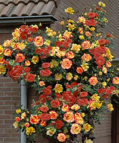 Look at this #zulilyfind! Climbing Piñata Rose Plant by Cottage Farms Direct #zulilyfinds