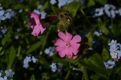Puna-ailakki | Vesan viherpiperryskuvat – puutarha kukkii
