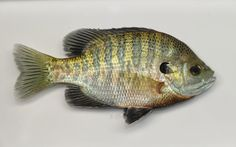male bluegill sunfish2 from Hoover Reservoir 27May09 by BZ.jpg (640×400)