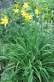 Keltapäivänlilja, Hemerocallis lilio-asphodelus, gul daglilja