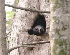 A black bear cub peeks out of a tree in the Great Smoky Mountains National Park