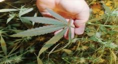 Prescription pot bill easily rolls up in Dem-majority New York Assembly- http://getmybuzzup.com/wp-content/uploads/2013/06/home-grown-600x330.jpg- http://getmybuzzup.com/prescription-pot-bill-easily-rolls-up-in-dem-majority-new-york-assembly/-  GREGORY SMITH/AP This marijuana plant was found during a raid of a Miami hydroponics lab, but such facilities might be rendered moot if New York legalizes pot for medical purposes and establishes a seed-to-sale system in which companie