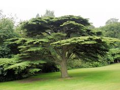 cedar tree | Develop Pollen-Free Cedar Trees to Help Allergy Sufferers Cedar tree ...