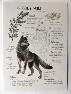 Natural Study Grey Wolf Print 5x7