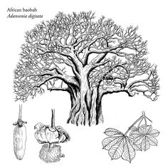 140 x 140 Le Baobab, Baobab Tree, Tree Illustration, Botanical Illustration, Crayons Pastel, Art Journal Challenge, Flora Pattern, Afrique Art, Magical Tree