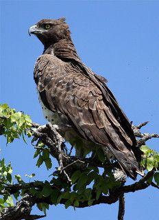 Aquila Marziale - Martial Eagle (Polemaetus bellicosus)
