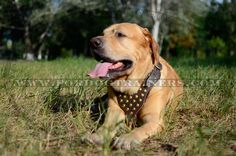 Fashionable Leather Dog Harness with Gold-Like Studs
