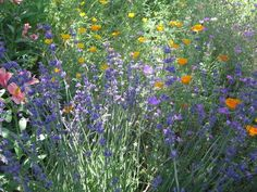 Beautiful combination.  Lavender and California Poppy