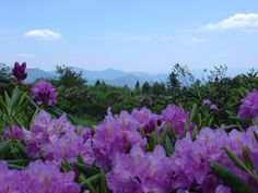 Catawba rhododendrons bloom in mid-June at Roan Mountain rhododendron gardens.
