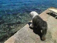 Jamping Water Dog - Bobtail Jumps Into Adriatic Sea