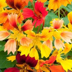 Top 10 Climbing Plants for a Small Trellis Nasturtium 'Flame Thrower' & others These plants will add color and height to the garden! Small Garden Trellis, Plant Breeding, Climbing Flowers, Annual Flowers, Flowering Vines, Annual Plants, Mellow Yellow, Yellow Cream, Bright Yellow