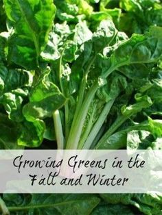 Growing-Greens-in-the-Fall-and-Winter