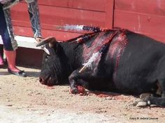 "=> From the moment the bull enters the ring, he is destined to die. His death will be slow and painful, and the last moments of his life will be full of terror and confusion as he hears the sounds of a jeering crowd. For the bull, bullfighting is no ""competition"". It is simply slaughter for human entertainment."