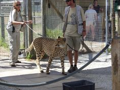 Trainer moving Cheetah from one section to another. (Cheetah Outreach, Near Somerset West just outside Cape Town) Somerset West, Cape Town, Cheetah, South Africa, The Outsiders, Cheetahs, Jaguar