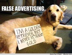 golden retriever never retrieves gold