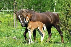 Mother horse and baby (foal)