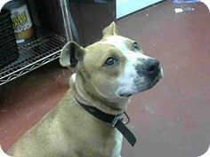 Atlanta, GA - Pit Bull Terrier. Meet ISABEL, a dog for adoption. http://www.adoptapet.com/pet/12582667-atlanta-georgia-pit-bull-terrier