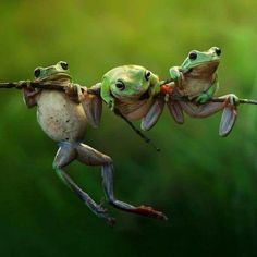 Frogs on tree branch, by H Rais