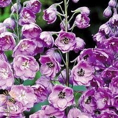 Lavender Hybrid Delphinium | Wholesale Flowers & DIY Wedding Flowers Purple Carnations, Delphinium Flowers, Plum Flowers, Diy Flowers, Colorful Flowers, Lavender Bouquet, Lavender Flowers, Wholesale Flowers Online, Purple Hibiscus