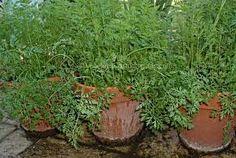 vegetable or herb pots