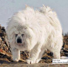 Largest Tibetan Mastiff | White Tibetan Mastiff Pictures - Biggest Dog Breed - Looks Like Lion