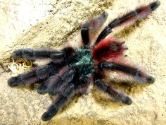 Martinique Pinktoe (Avicularia versicolor) Suppliers of Arachnids and other quality Invertebrates Pink Toes, Creature Feature, Spiders, Bugs, Creepy, Insects, Pictures, Beautiful, Earth