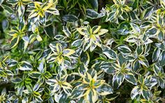 Another fine selection from the Southern Living Plant Collection, Miss Lemon is a new dwarf Abelia that sports some very colorful tricolor yellow, dark green, and white foliage.