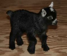"""This is my next dog """"Baby Pygmy Goat"""" :)"""