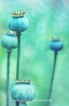 A Poppy garden.  Cotswold, England.