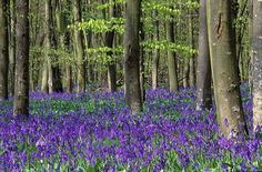 Bluebells under the pine trees?