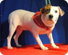 I'm Leslie, waiting at the Parker County Animal Shelter for my new forever family. Please come soon!!! There's an overload of dogs! I would make a great addition to your family! I don't take up much room or eat much!! either. 817-598-4111. Weatherford, Tx.
