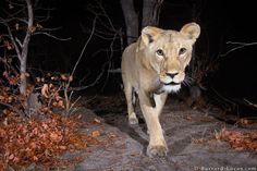 Em série fotográfica, Will Burrard-Lucas mostra os animais da área de conservação na fronteira entre países africanos