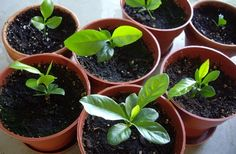 Growing lemon trees from seeds