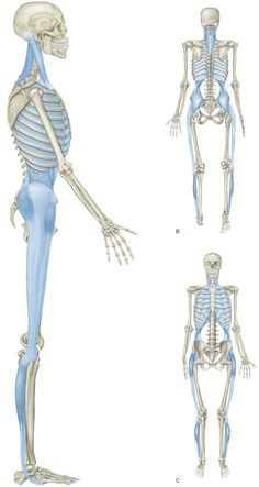 The Lateral Line (LL) brackets each side of the body from the medial and lateral mid-point of the foot around the outside of the ankle and up the lateral aspect of the leg and thigh, passing along the trunk in a 'basket weave' or shoelace pattern under the shoulder to the skull in the region of the ear.