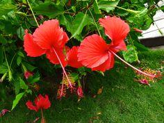 Beautiful Red Hibiscus flowers - in Barbados Beautiful Nature Scenes, Beautiful Flowers, Beautiful Pictures, Bridgetown Barbados, Caribbean Food, Language Of Flowers, Sport Style, Hibiscus Flowers, West Indies
