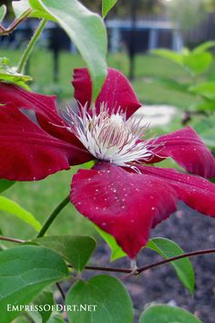 Learn how to grow clematis (and prune it at the right time of year) for beautiful vines in your garden